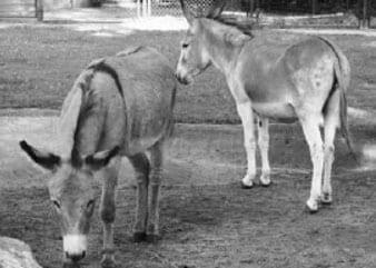 Donkey Love (Poland)