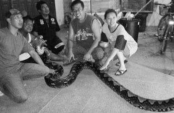 Monster Phuket Python Caught, A Six Metre Record