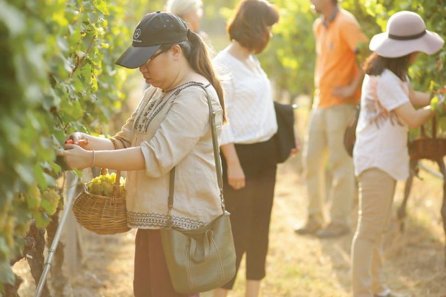 Hua Hin Hills Vineyard; The Harvest Festival 2016