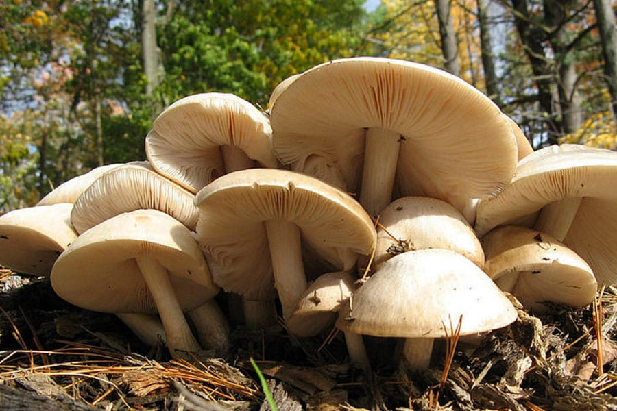 Eating Wild Mushrooms is Risky