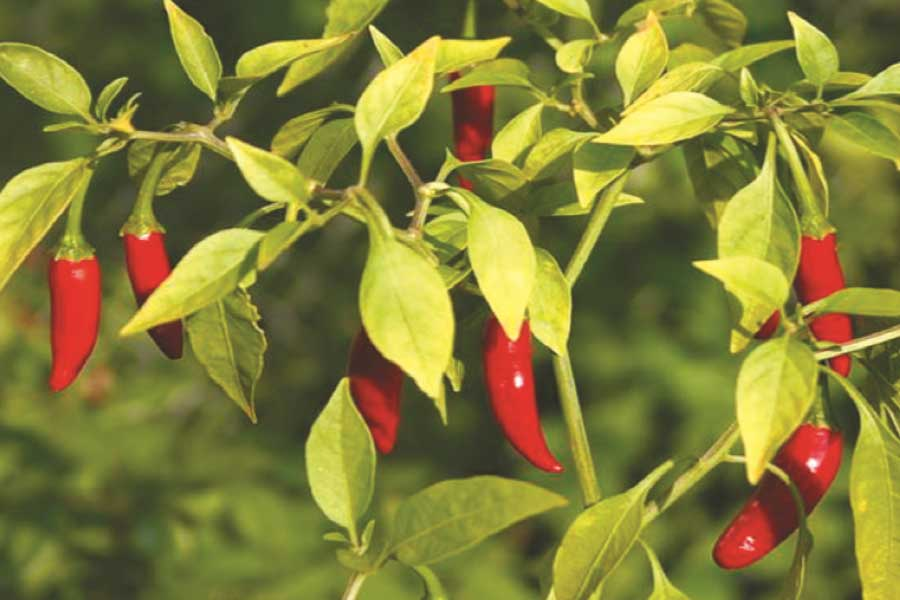 "Introducing Thailand's ""Bird's Eye"" Chillies"