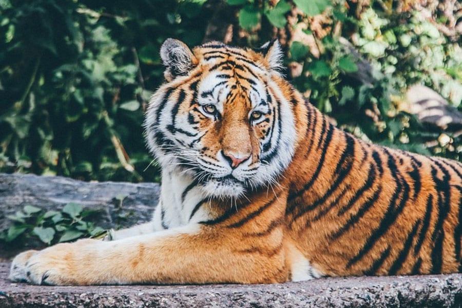 Breeding Tigers Found in Thailand