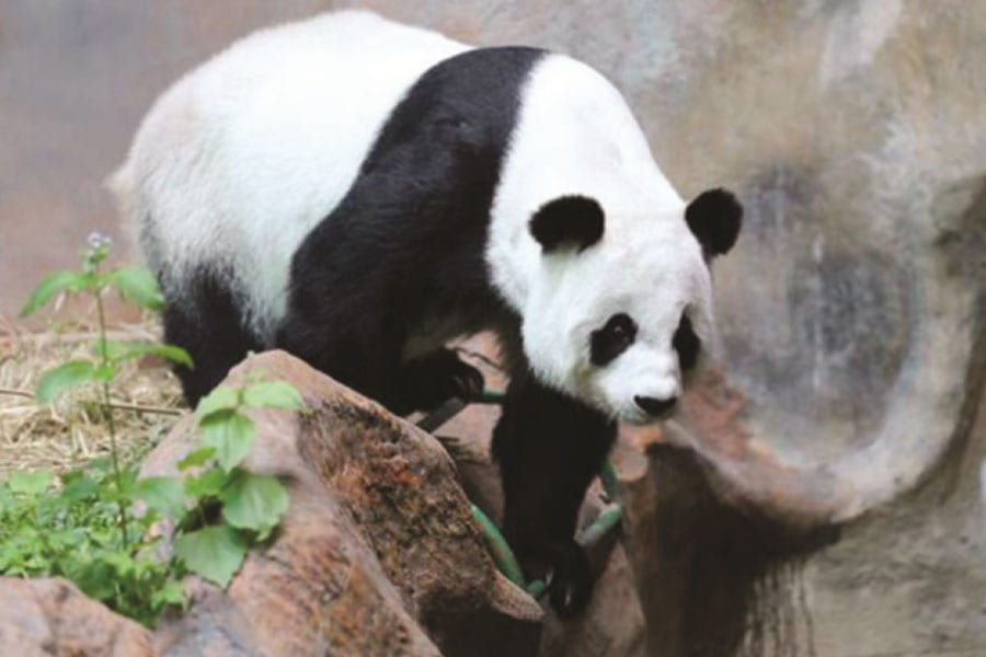 Lin Hui the Panda May Be Pregnant: Chiang Mai Zoo Vets
