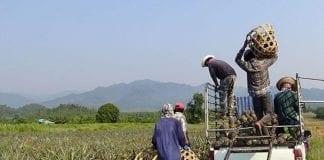 Kui Buri Farmers Adjust to Life with Wild Jumbos