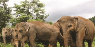 Wild and Domestic Elephants in Thailand; Resolving 'Jumbo Sized' Problems
