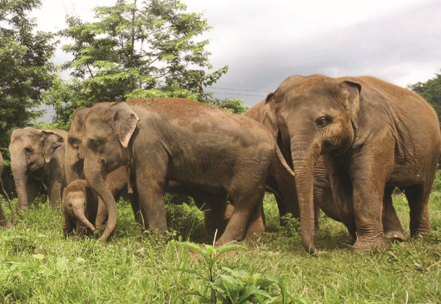 Wild and Domestic Elephants in Thailand