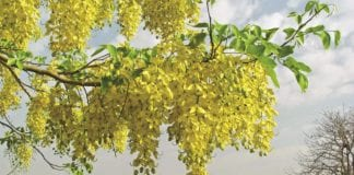 The Golden Shower Tree it's Bloomin' Beautiful