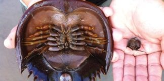 Public Health Ministry Warns against Eating Mangrove Horseshoe Crabs