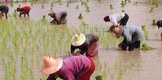 Department of Foreign Trade: Thailand has become the world's No.1 rice exporter