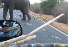 Wild elephants block road to get pineapples