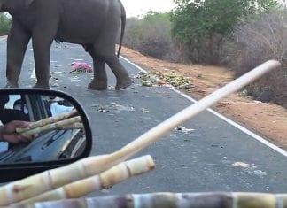 Wild elephants block road to get pineapples