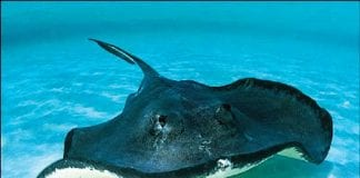 Stingrays and Sawfish Declared Protected Species