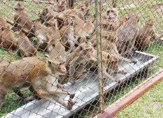 The second time of monkey sterilisation