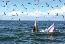 Bryde's Whales Return to the Phetchaburi Coast