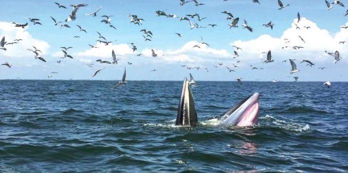 Bryde's Whales Return to the Phetchaburi Coast
