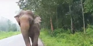 Musth Stop for Elephants
