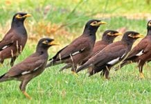 Birds of Thailand; A Myna Dilemma