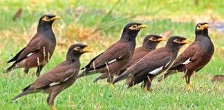 Birds of Thailand; A Myna Dilemma
