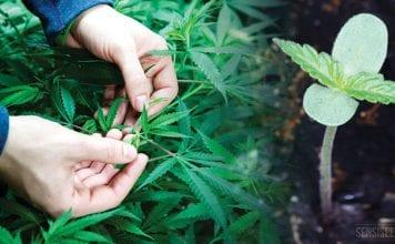 Managing Thailand's Legalisation of Marijuana