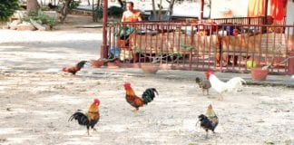 Bantam Chicken Theft from Temples; Increased Value Means Increasing Theft