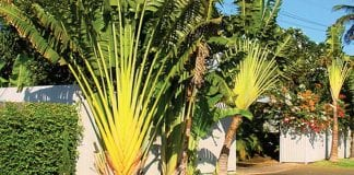 Ravenala madagascariensis - Traveller's palm