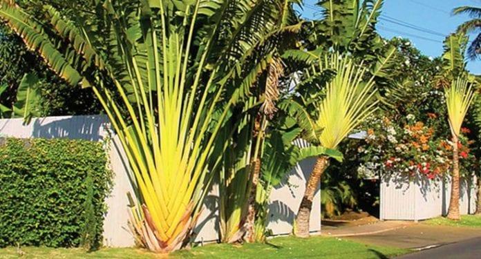 Ravenala madagascariensis - Traveller's palm