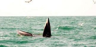 Tourists Spot Two Bruda Whales at Sam Roi Yod Sea