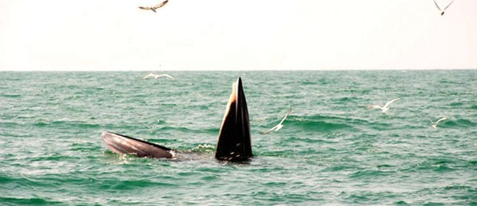 Tourists Spot Two Bruda Whales at Sam Roi Yod Sea