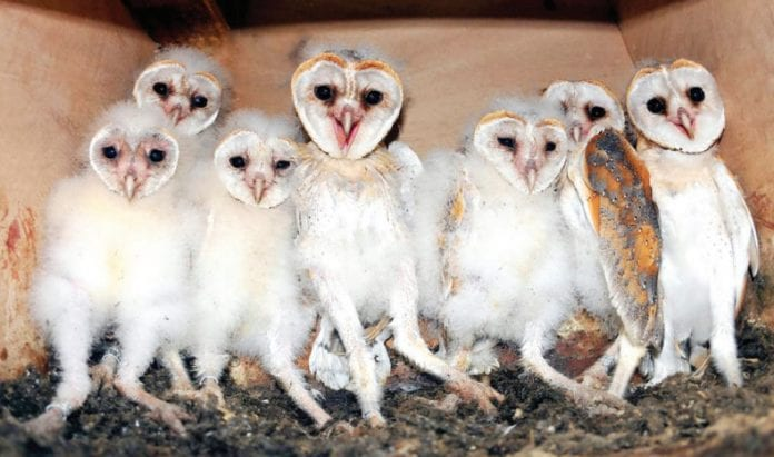 Tyto alba Barn Owl