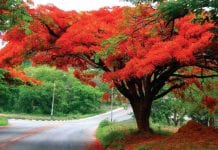 Delonix Regia Royal Poinciana