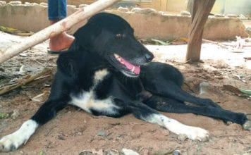 Hero dog named Ping Pong rescues newborn baby buried alive in Isaan