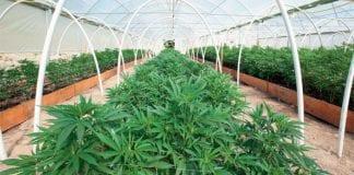 Marijuana is 'legal' in Thailand